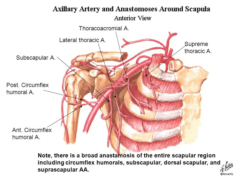 Thoracoacromial A. Lateral thoracic A. Supreme thoracic A. Subscapular A. Post. Circumflex humoral A.