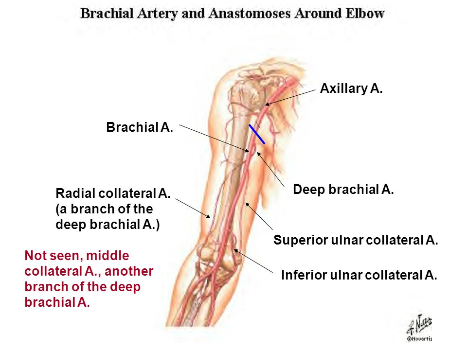 Axillary A. Brachial A. Deep brachial A. Radial collateral A. (a branch of the deep brachial A.) Superior ulnar collateral A.