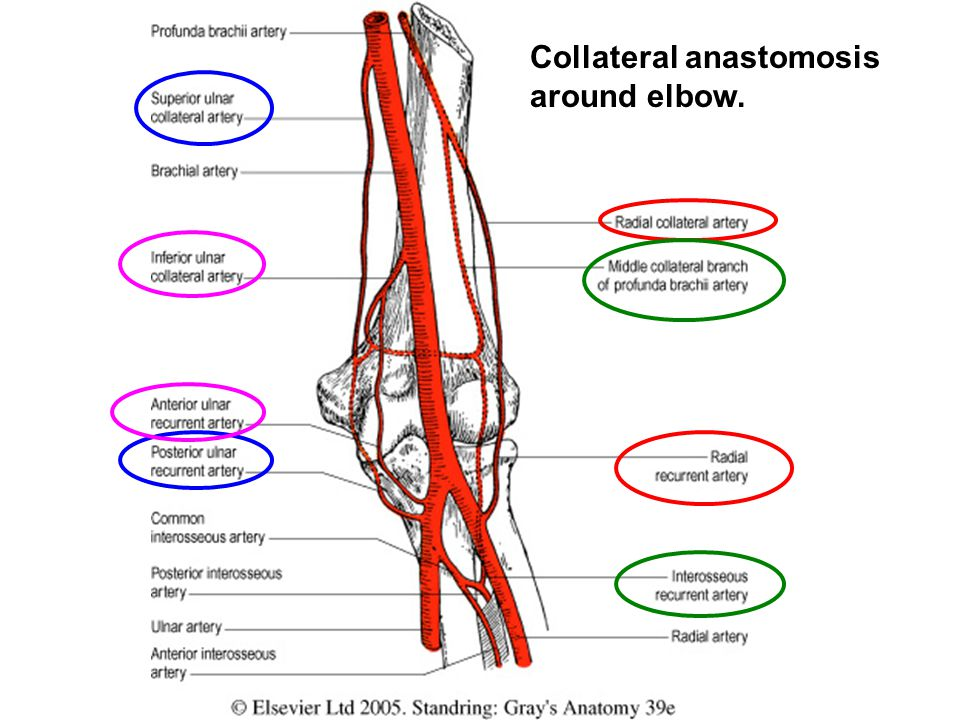 Collateral anastomosis around elbow.