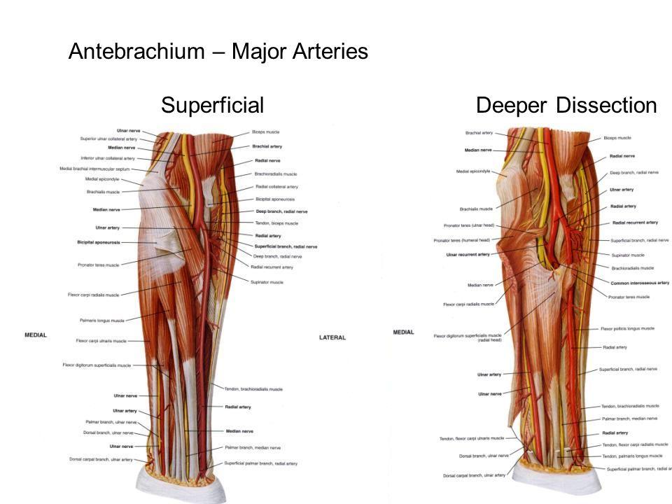 Antebrachium – Major Arteries