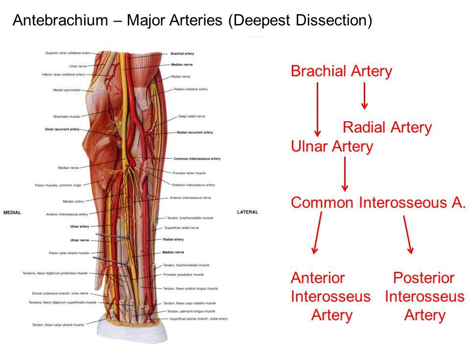 Antebrachium – Major Arteries (Deepest Dissection)