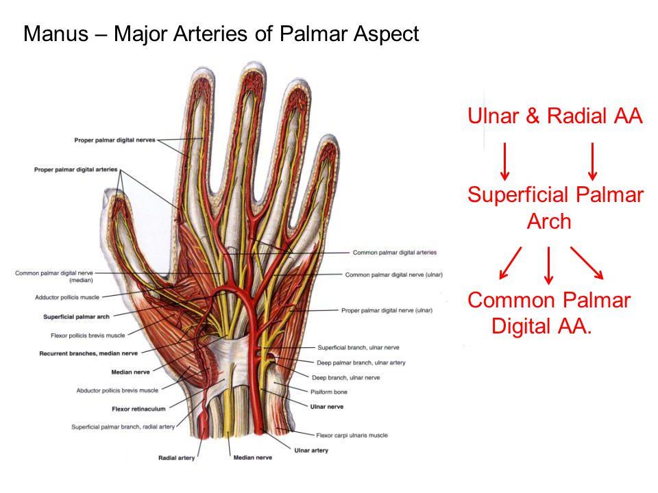 Manus – Major Arteries of Palmar Aspect