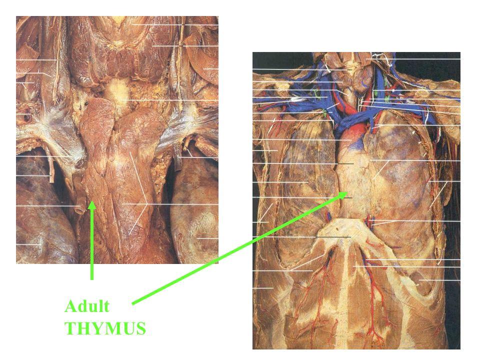 Adult THYMUS
