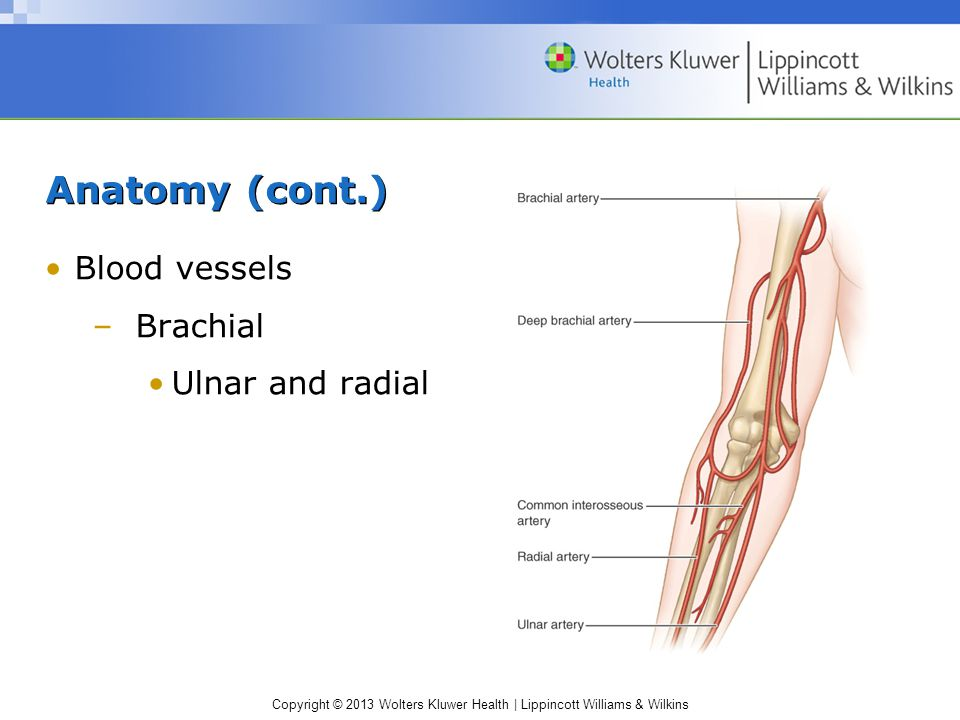 Anatomy (cont.) Blood vessels Brachial Ulnar and radial