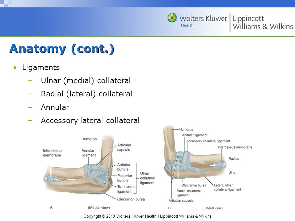 Anatomy (cont.) Ligaments Ulnar (medial) collateral
