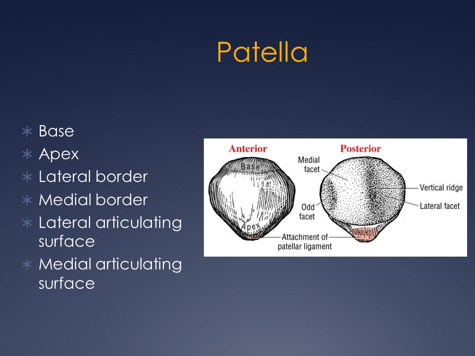 Patella Base Apex Lateral border Medial border