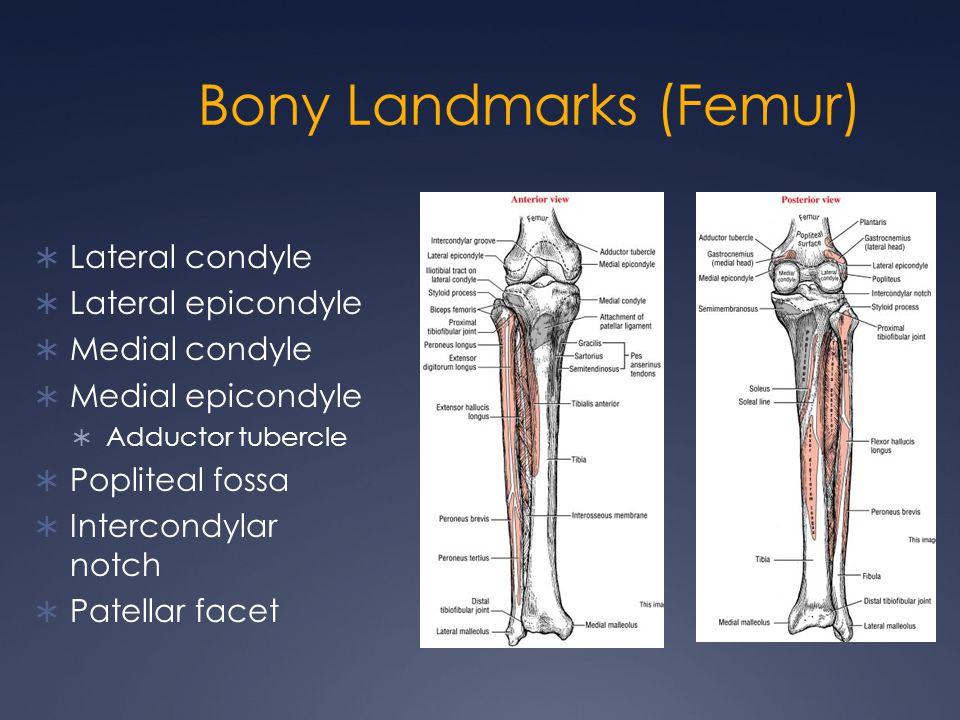 Bony Landmarks (Femur)