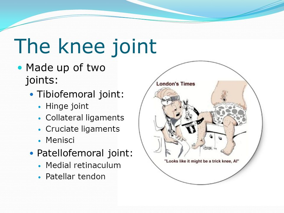 The knee joint Made up of two joints: Tibiofemoral joint: