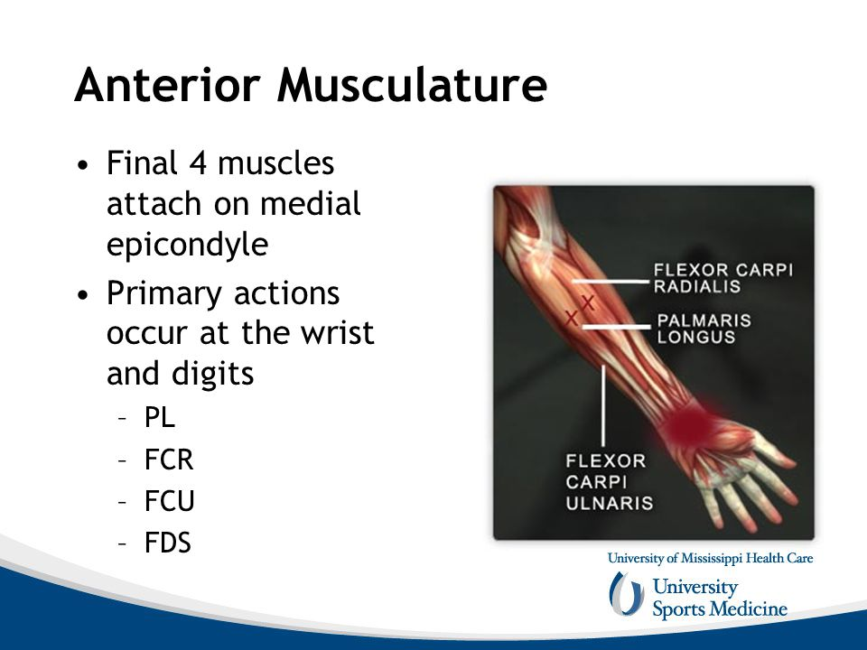 Anterior Musculature Final 4 muscles attach on medial epicondyle