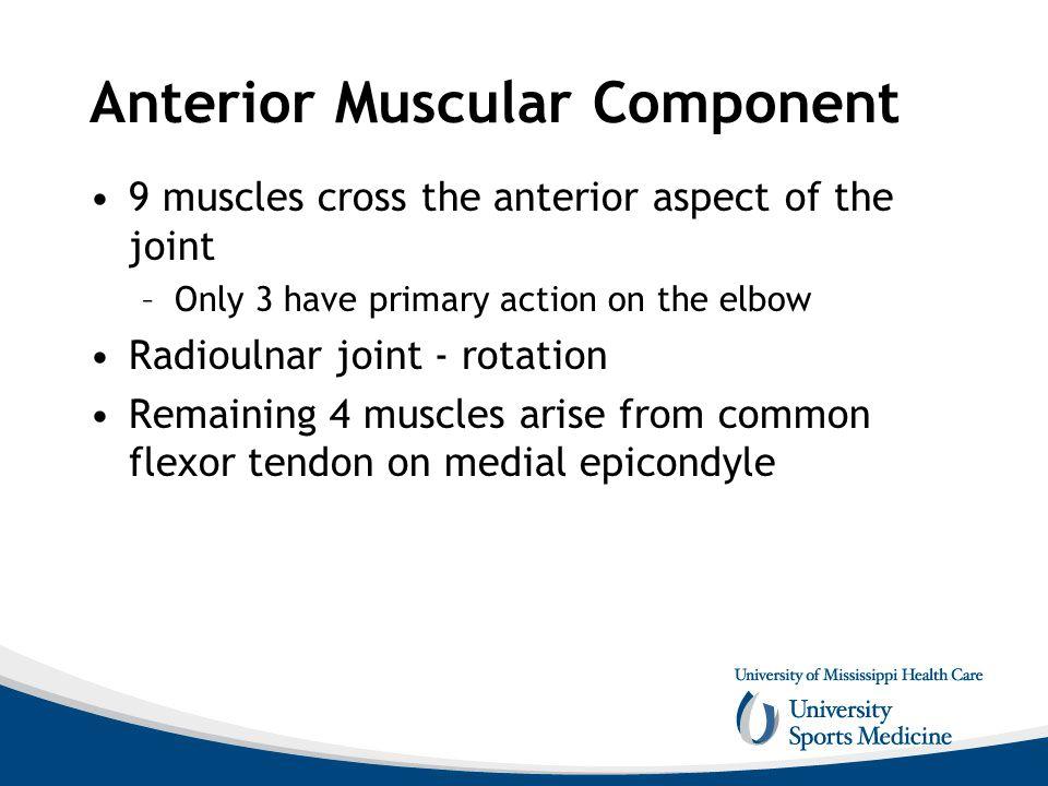 Anterior Muscular Component