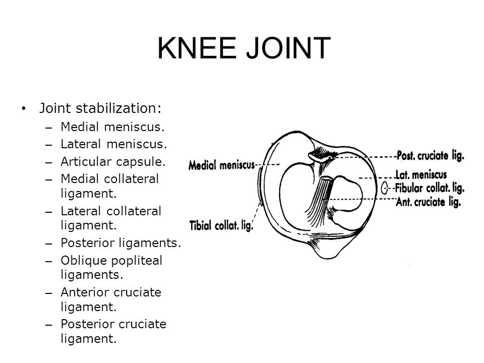 KNEE JOINT Joint stabilization: Medial meniscus. Lateral meniscus.