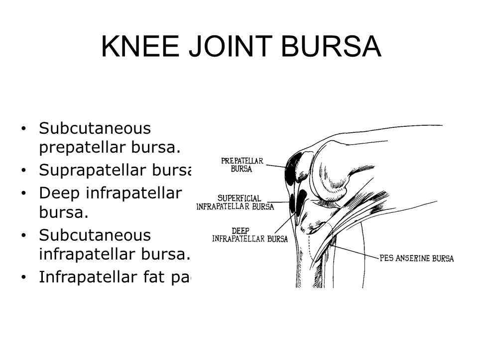 KNEE JOINT BURSA Subcutaneous prepatellar bursa. Suprapatellar bursa.