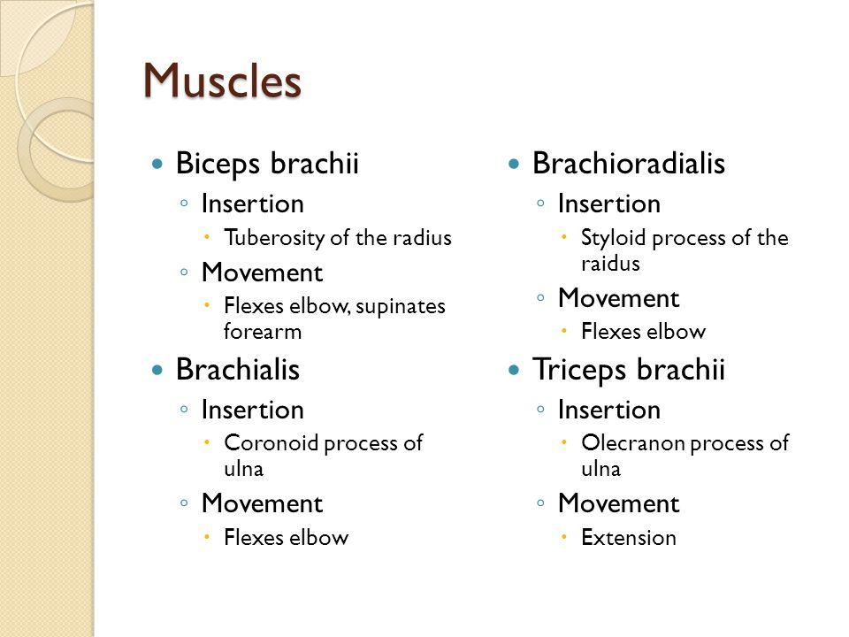 Muscles Biceps brachii Brachialis Brachioradialis Triceps brachii