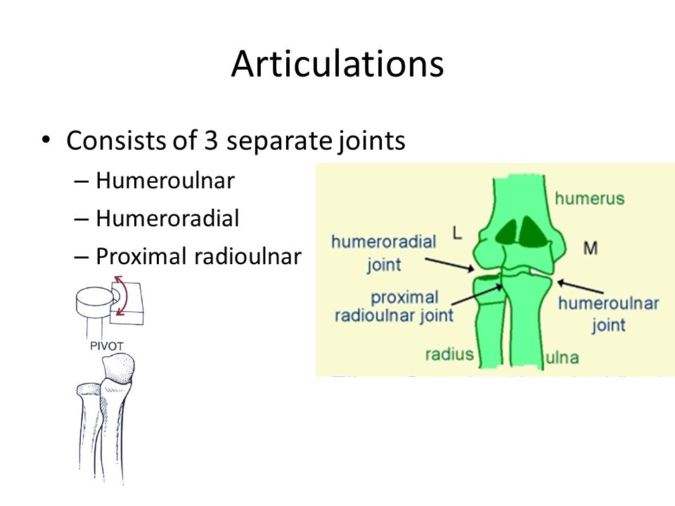 Articulations Consists of 3 separate joints Humeroulnar Humeroradial
