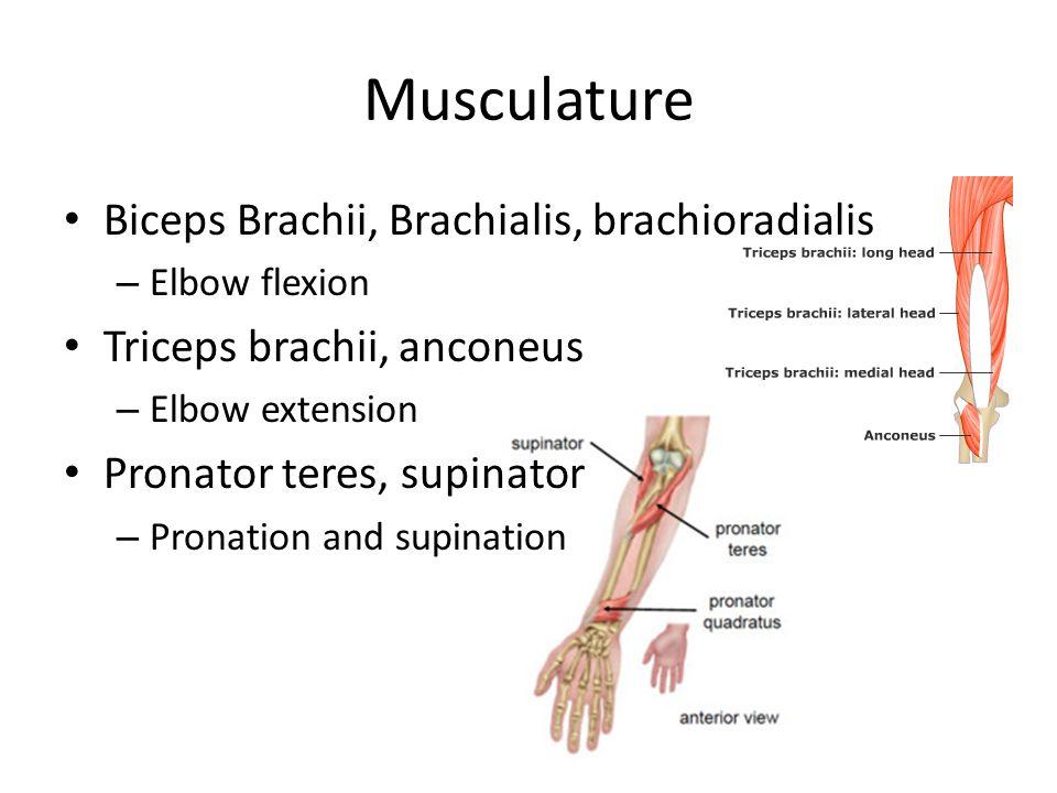 Musculature Biceps Brachii, Brachialis, brachioradialis