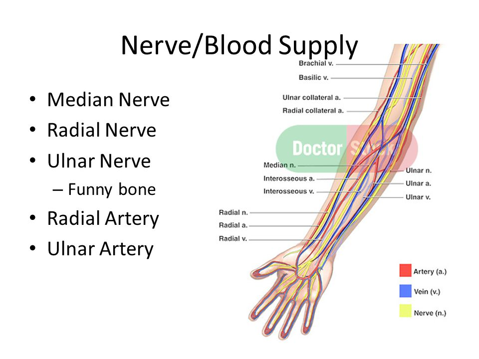 Nerve/Blood Supply Median Nerve Radial Nerve Ulnar Nerve Radial Artery
