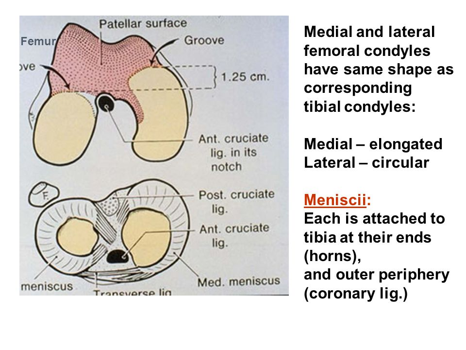tibia at their ends (horns), and outer periphery (coronary lig.)