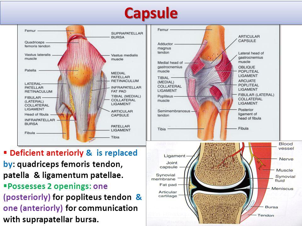 Capsule Deficient anteriorly & is replaced by: quadriceps femoris tendon, patella & ligamentum patellae.