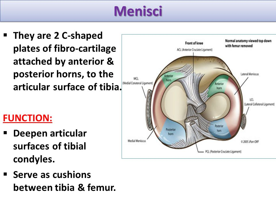 Menisci They are 2 C-shaped plates of fibro-cartilage attached by anterior & posterior horns, to the articular surface of tibia.