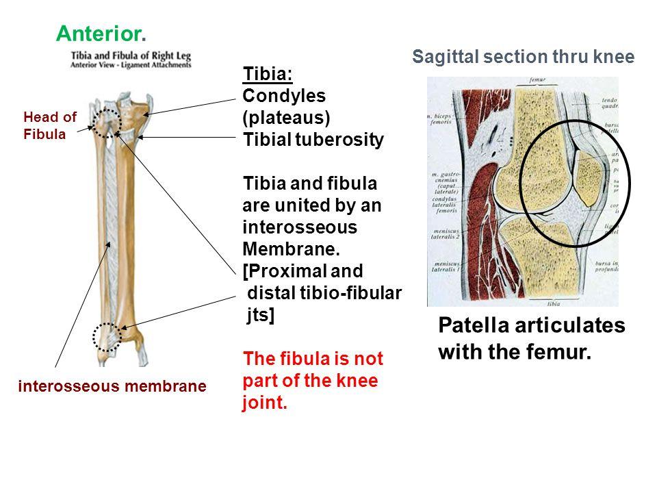 Anterior. Patella articulates with the femur.