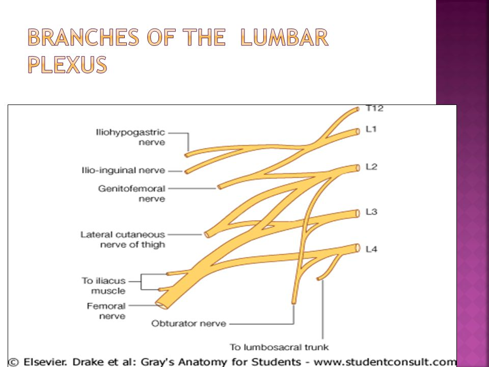 branches of the Lumbar plexus