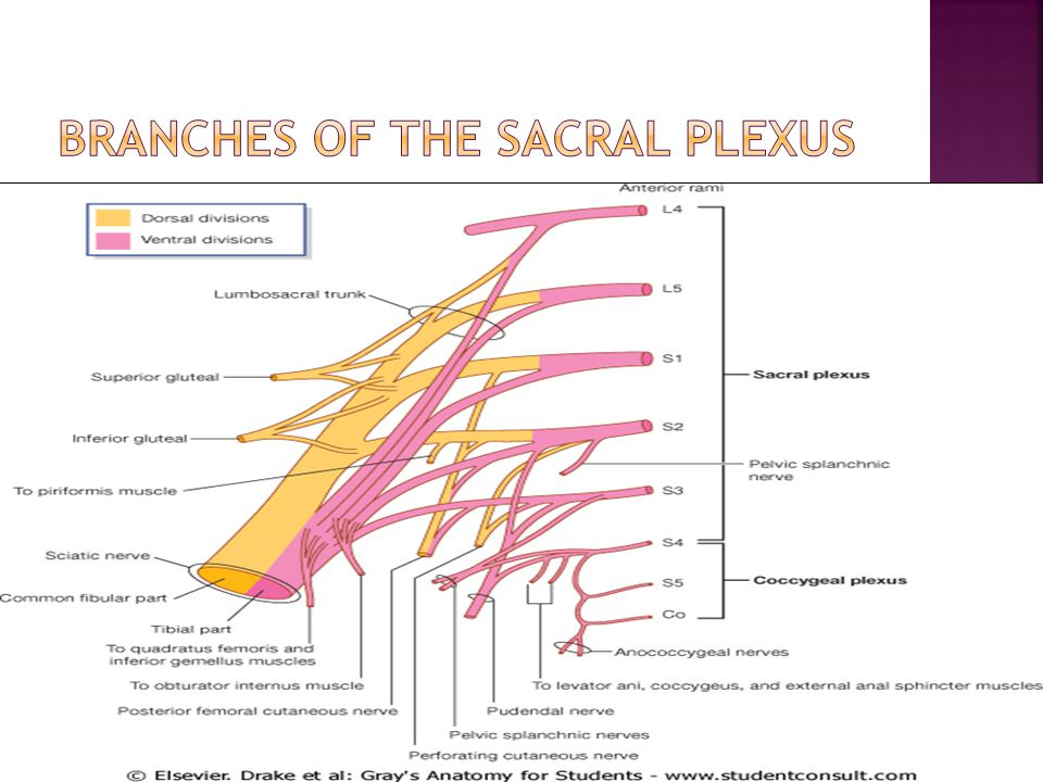 branches of the Sacral plexus