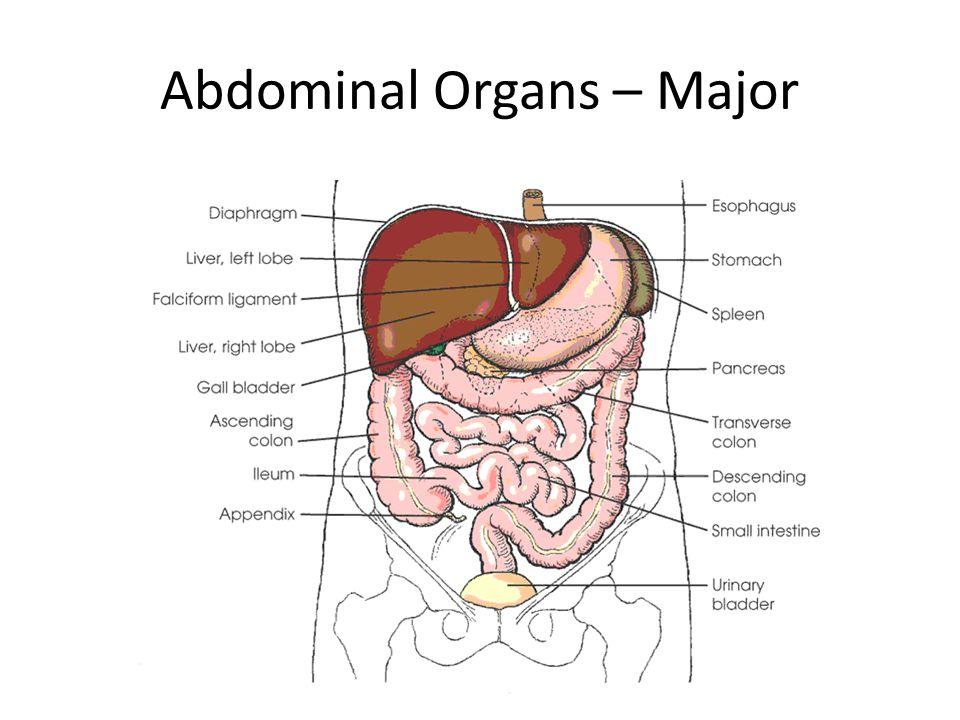 Abdominal Organs – Major
