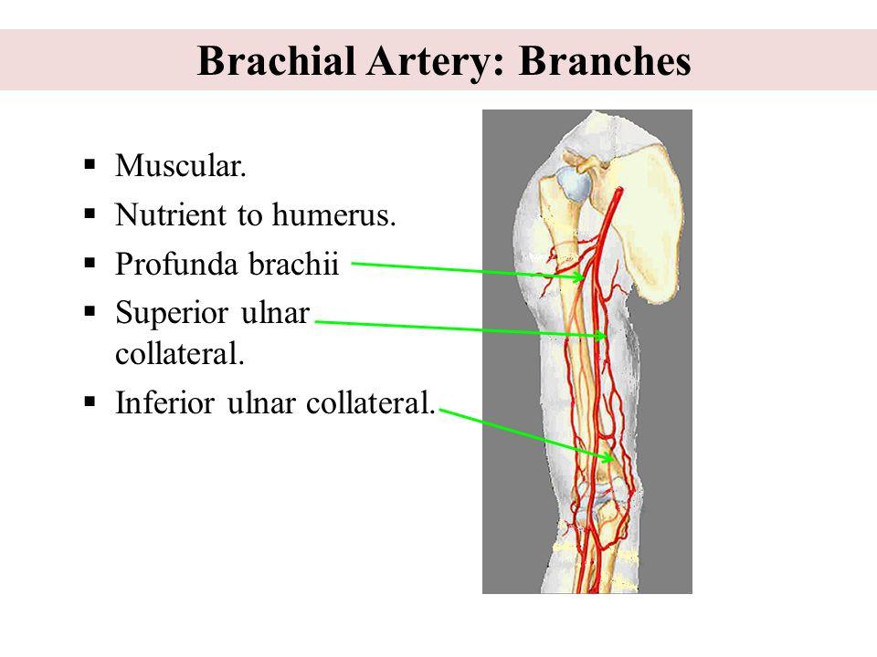Brachial Artery: Branches