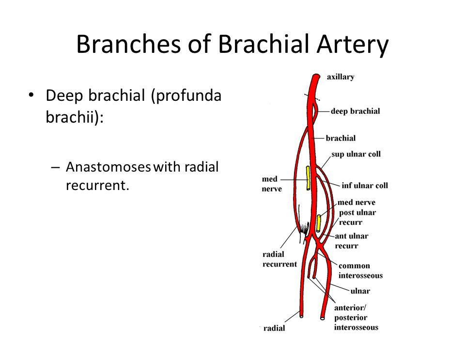Branches of Brachial Artery