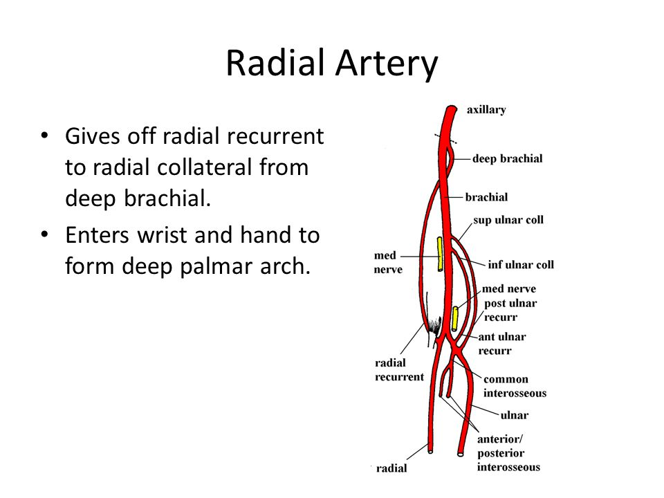 Radial Artery Gives off radial recurrent to radial collateral from deep brachial.