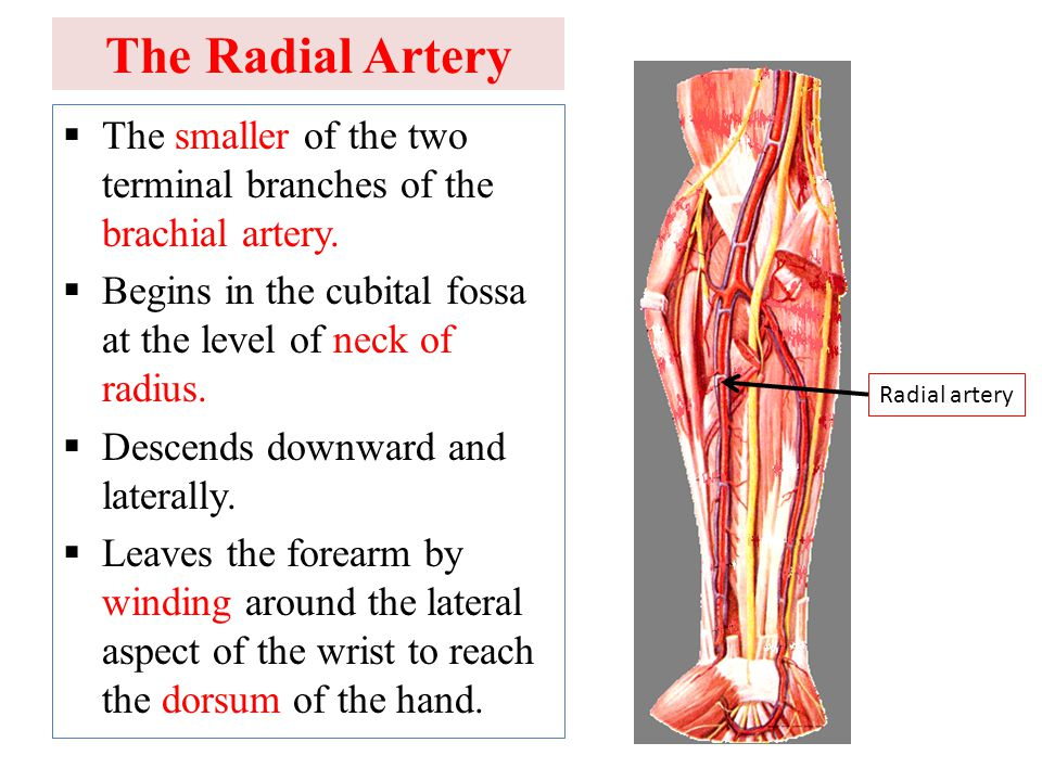 The Radial Artery The smaller of the two terminal branches of the brachial artery. Begins in the cubital fossa at the level of neck of radius.