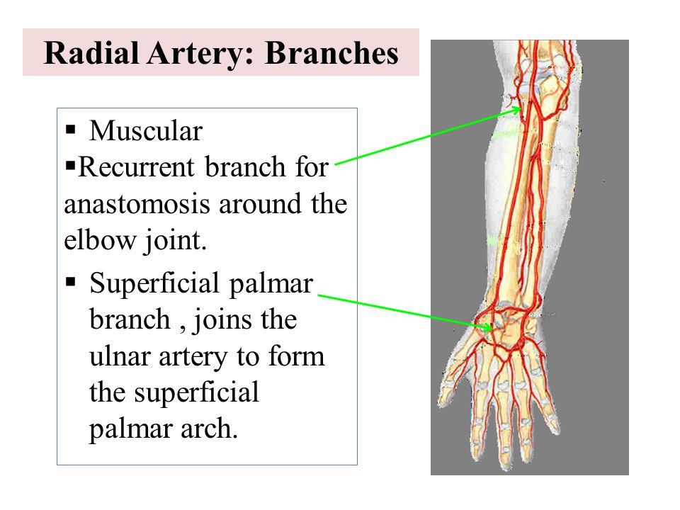 Radial Artery: Branches
