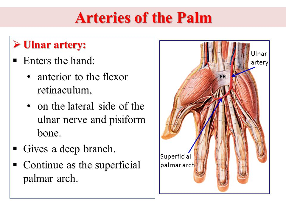 Arteries of the Palm Ulnar artery: Enters the hand: