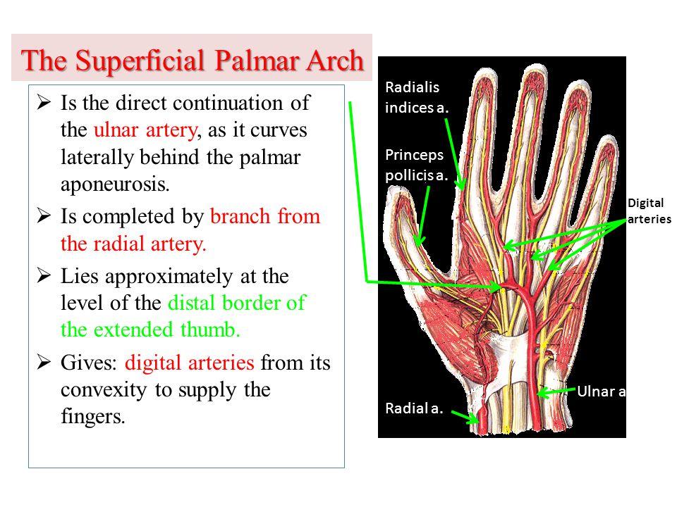 The Superficial Palmar Arch