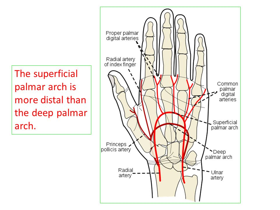 The superficial palmar arch is more distal than the deep palmar arch.