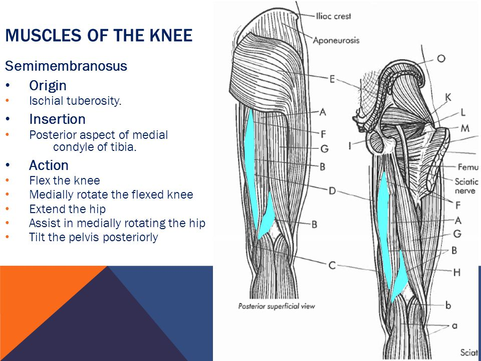 Muscles of the knee Semimembranosus Origin Insertion Action