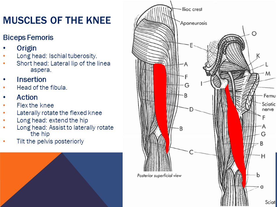 Muscles of the Knee Biceps Femoris Origin Insertion Action