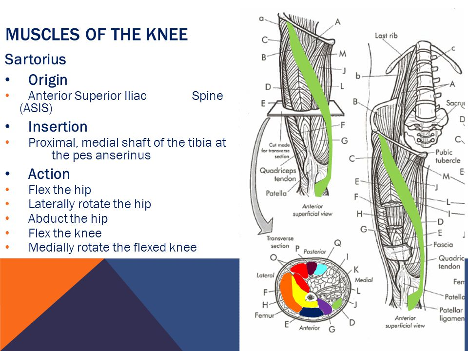 Muscles of the Knee Sartorius Origin Insertion Action