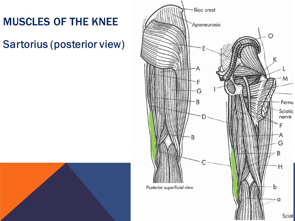 Muscles of the Knee Sartorius (posterior view)