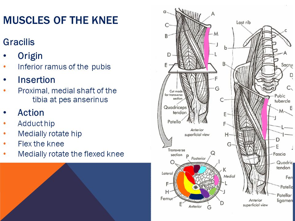 Muscles of the Knee Gracilis Origin Insertion Action