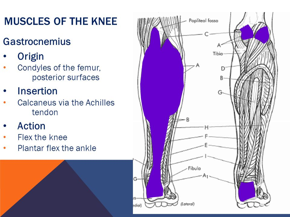Muscles of the Knee Gastrocnemius Origin Insertion Action