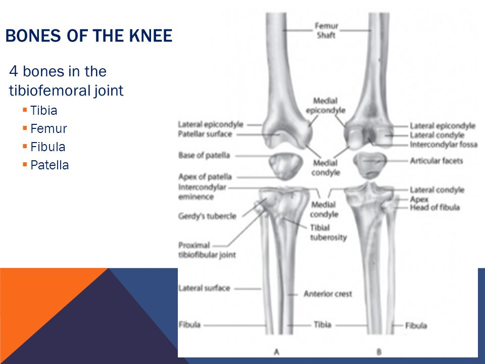 knee and femur distal end The lower extremity of femur (or distal extremity) is the lower end of the thigh  bone in human and other animals, closer to the knee it is larger than the upper.