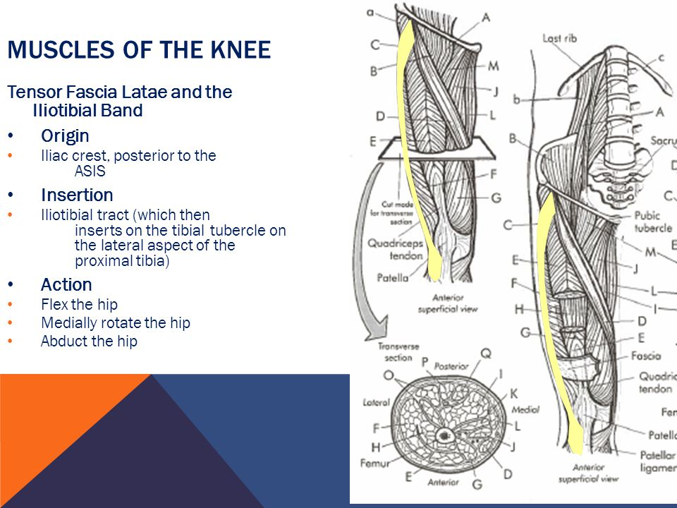 Muscles of the Knee Tensor Fascia Latae and the Iliotibial Band Origin