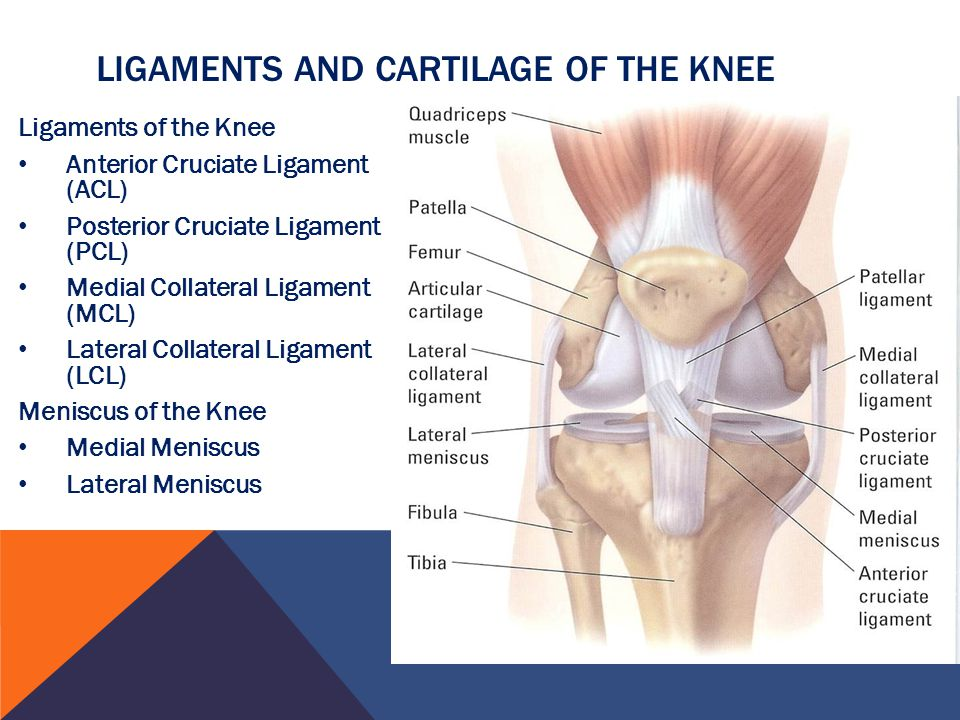 Ligaments and Cartilage of the knee