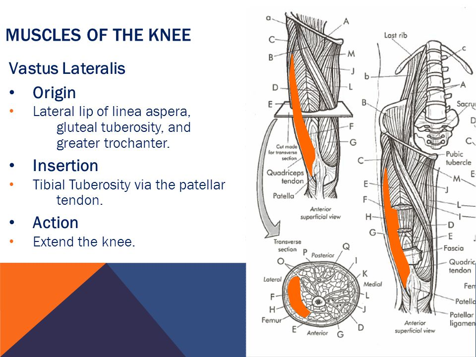 Muscles of the Knee Vastus Lateralis Origin Insertion Action
