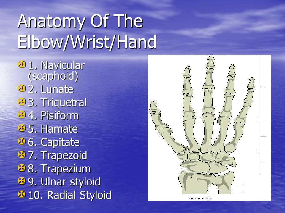 Anatomy Of The Elbow/Wrist/Hand