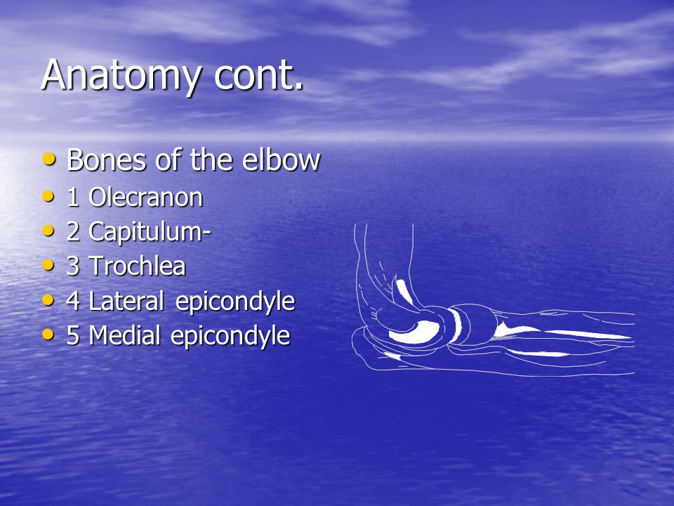 Anatomy cont. Bones of the elbow 1 Olecranon 2 Capitulum- 3 Trochlea