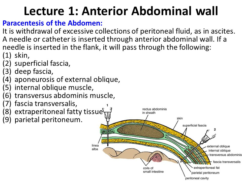 Lecture 1: Anterior Abdominal wall