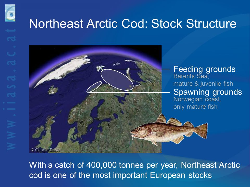 Northeast Arctic Cod: Stock Structure