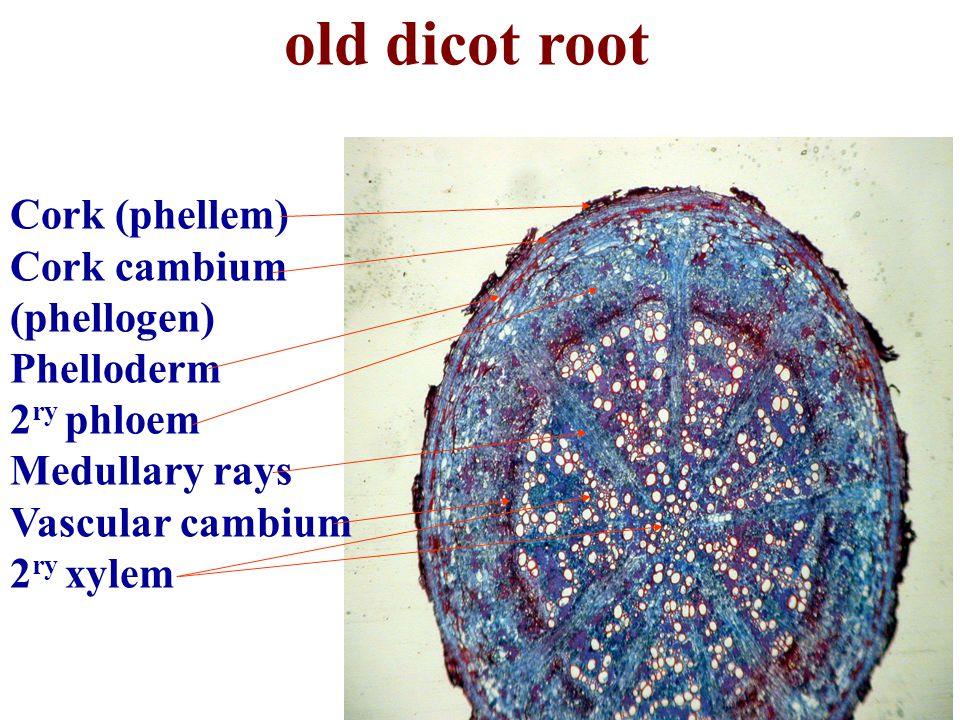 old dicot root Cork (phellem) Cork cambium (phellogen) Phelloderm